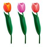 Tulipanes coloridos Ilustración realista del vector Fotografía de archivo libre de regalías