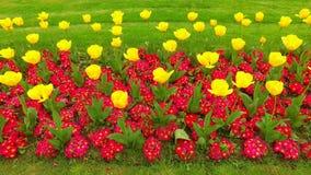 Tulipanes como la muestra de la primavera