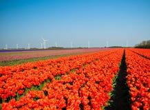 Tulipanes con los molinoes de viento Foto de archivo