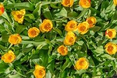 Tulipanes con los pétalos amarillos y rojos, foto arriba imagen de archivo libre de regalías