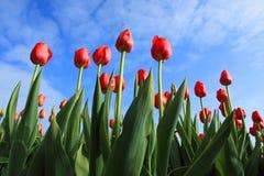 Tulipanes contra el cielo azul Imágenes de archivo libres de regalías