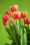 Tulipanes contra fondo verde fotos de archivo