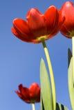 Tulipanes contra un cielo azul Fotos de archivo libres de regalías