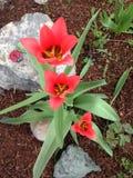 Tulipanes coralinos magníficos con follaje verde fotos de archivo