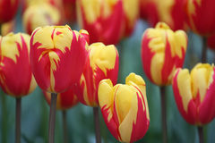 Tulipanes de Amsterdam Imágenes de archivo libres de regalías