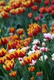 Tulipanes de Amsterdam Foto de archivo libre de regalías