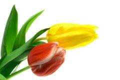 Tulipanes de Beautful en un blanco Fotos de archivo