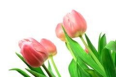 Tulipanes de Beautful en un blanco Fotografía de archivo