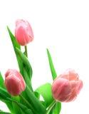 Tulipanes de Beautful en un blanco Imagenes de archivo