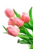Tulipanes de Beautful en un blanco Fotografía de archivo libre de regalías