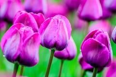 Tulipanes de color de malva por la mañana Fotos de archivo libres de regalías