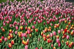 Tulipanes de Holanda Fotos de archivo