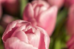 Tulipanes de Holanda - tulipanes de la tarjeta del día de San Valentín Fotos de archivo libres de regalías