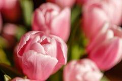 Tulipanes de Holanda - tulipanes de la tarjeta del día de San Valentín imagenes de archivo