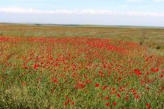 Tulipanes de Kazakhstan imagenes de archivo