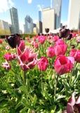 Tulipanes de la ciudad Foto de archivo libre de regalías