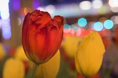 Tulipanes de la ciudad Fotos de archivo libres de regalías
