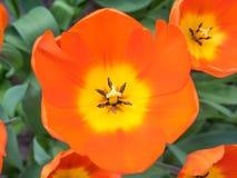 Tulipanes de la demostración de la naranja y del amarillo Foto de archivo libre de regalías