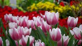 Tulipanes de la flor en el viento con las abejas en granja almacen de video