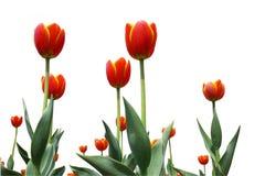 Tulipanes de la flor rojos imagen de archivo