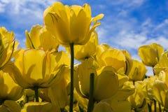 Tulipanes de la floración gastada y plena del amarillo en Washington Park Albany NY Fotos de archivo