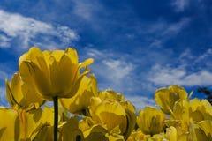 Tulipanes de la floración gastada y plena del amarillo en Washington Park Albany NY Imágenes de archivo libres de regalías