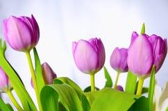 Tulipanes de la lila foto de archivo