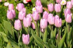 Tulipanes de la lila Foto de archivo libre de regalías