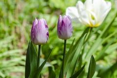 Tulipanes de la lila crecidos en el jardín fotografía de archivo