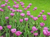 Tulipanes de la lila en el parque Fotografía de archivo libre de regalías