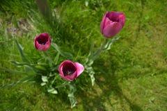 Tulipanes de la lila en la hierba verde en el jardín Fotografía de archivo libre de regalías
