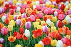 Tulipanes de la primavera Fotos de archivo libres de regalías