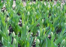 Tulipanes de la primavera Fotografía de archivo libre de regalías