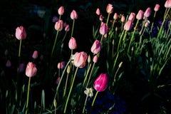 Tulipanes de la primavera por la mañana 1 Foto de archivo