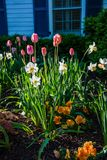 Tulipanes de la primavera por la mañana 6 Fotografía de archivo