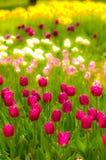 Tulipanes de la primavera v Imagen de archivo libre de regalías