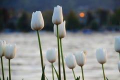Tulipanes de la puesta del sol Fotografía de archivo