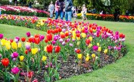 Tulipanes de la visión Fotos de archivo