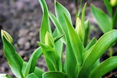 Tulipanes de los brotes y de las hojas del verde Fotografía de archivo libre de regalías