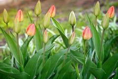 Tulipanes de los brotes y de las hojas del verde Foto de archivo