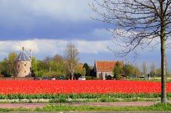 Tulipanes de los Países Bajos Fotografía de archivo libre de regalías