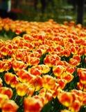 Tulipanes de oro Foto de archivo libre de regalías