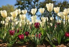 Tulipanes de Pascua en la floración Imagen de archivo