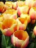 Tulipanes de ruborización amarillos imagenes de archivo