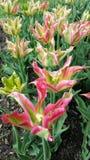 Tulipanes de todas las formas Imagen de archivo libre de regalías