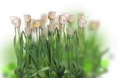 Tulipanes de Triumph Foto de archivo