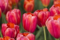 Tulipanes de Triumph 'Stargrazer' Foto de archivo