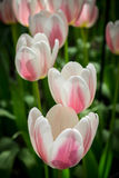 Tulipanes de White&pink Imagen de archivo libre de regalías