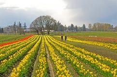 Tulipanes de Willamette Fotos de archivo libres de regalías