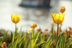tulipanes del amarillo del  del ¹ del à en jardín Foto de archivo libre de regalías